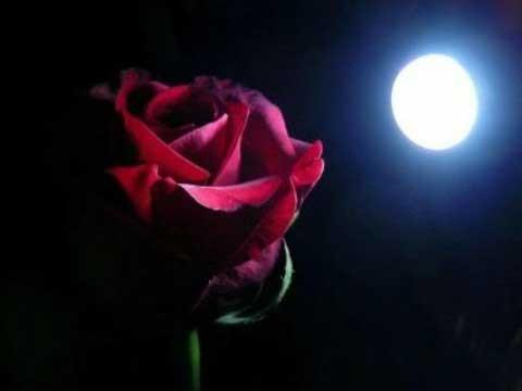 rosa_rossa.jpg